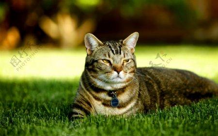 草坪上的花猫