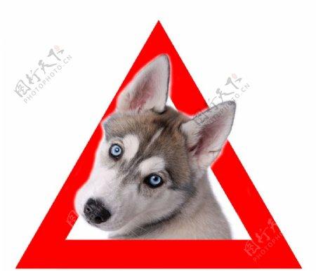 狐狸犬图片