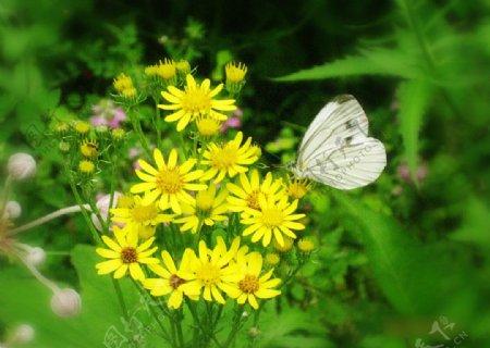 花上蝴蝶图片