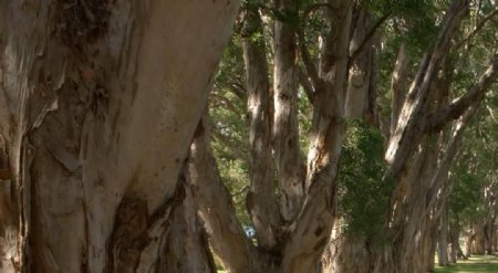 大树沧桑风景高清素材