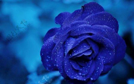 蓝玫瑰花月季花