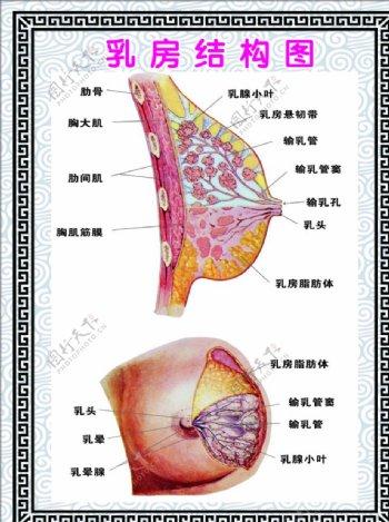 乳房结构图展板