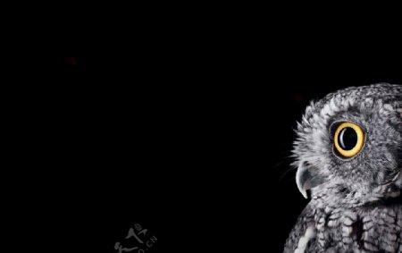 黑色背景下的猫头鹰半边脸