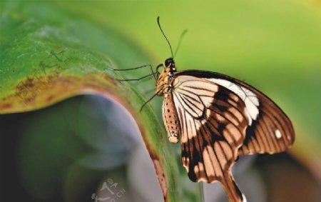 咖啡色蝴蝶