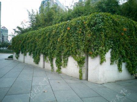墙头上的藤蔓