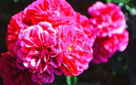 牡丹芍药富贵花