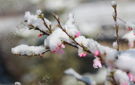 碧桃树雪花