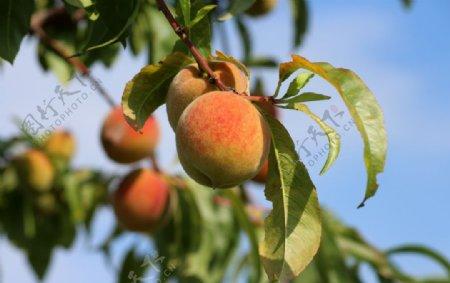 桃子油桃毛桃树上桃子桃树