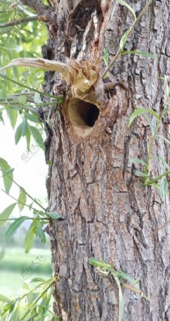杨柳树上的鸟窝