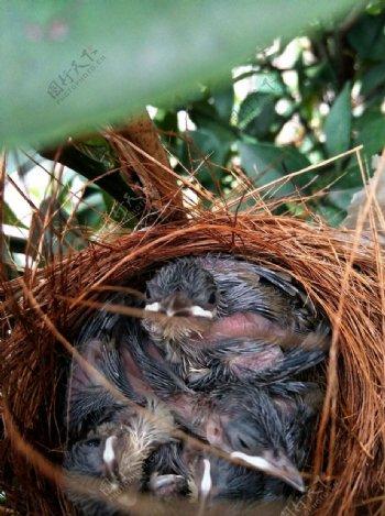 鸟巢中嗷嗷待哺的雏鸟