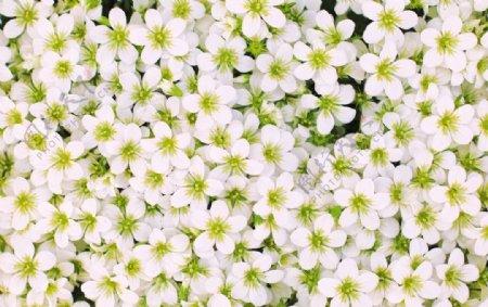 白色花的海洋
