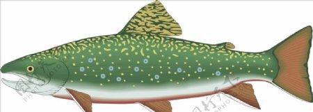 白鲑白绘矢量海洋鱼CDR