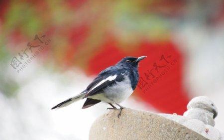 鸟喜鹊益鸟动物野生天