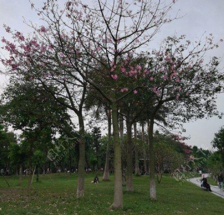 异木棉花树