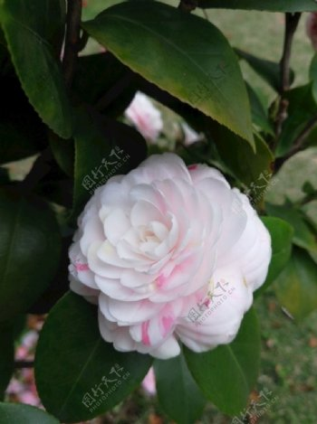 粉白色山茶花图片