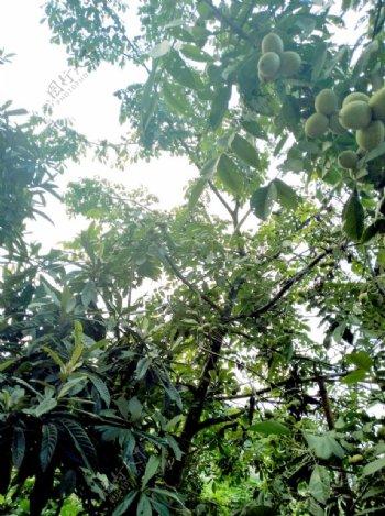 仰视核桃树图片