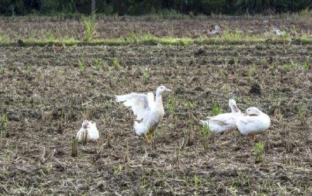 大白鸭图片