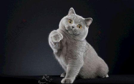 蓝猫可爱动物素材壁纸4k图片