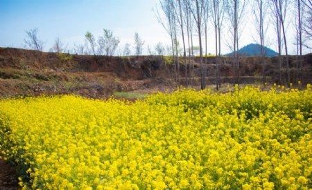 春天蓝天白云户外油菜花图片
