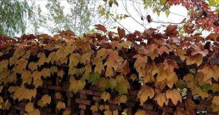 秋天围墙上的爬山虎