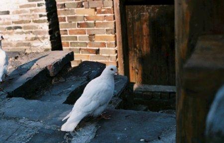 白色鸽子图片