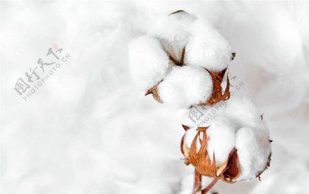 白色背景上的棉花图片