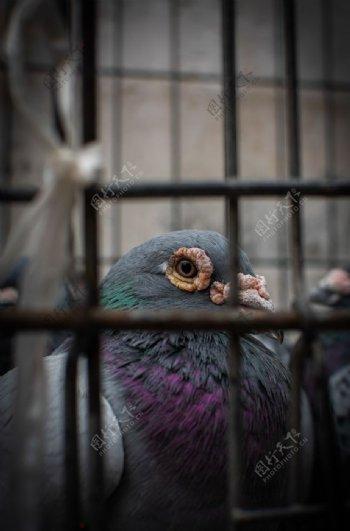 笼子里的鸽子图片