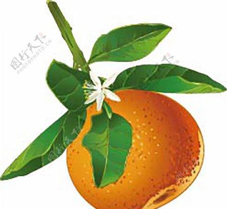 AI格式橘子图图片
