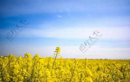 蓝天白云下的油菜花油菜花图片