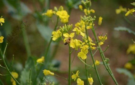 蜜蜂油菜花图片