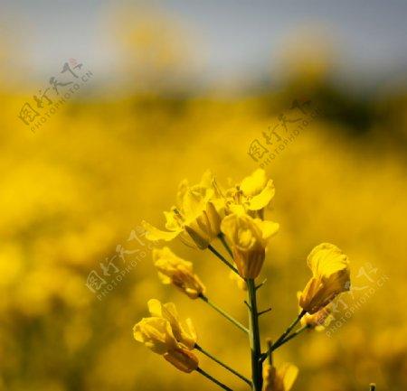 油菜花图片