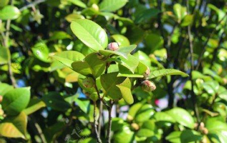 茶花花苞图片