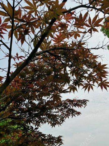 阴天枫叶图片