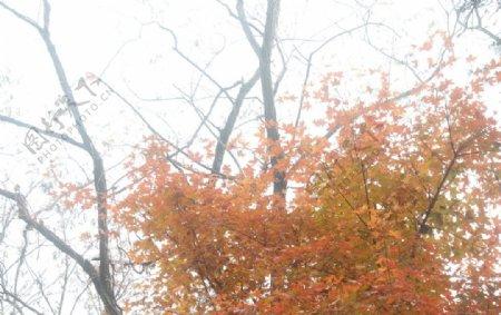 秋季枫叶下的仰望图片