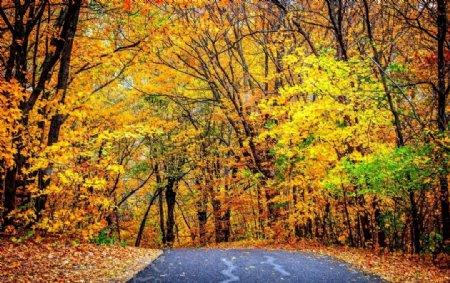 野外公路枫树林图片