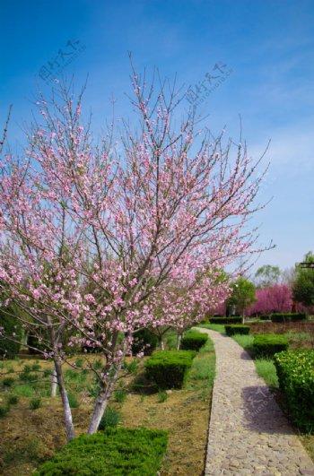 春天蓝天白云户外海棠树花园小路图片