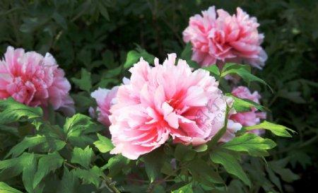 浅粉色牡丹花图片