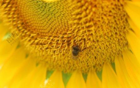 漂亮的向日葵鲜花图片