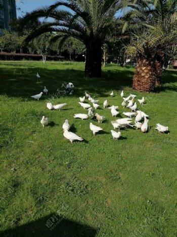 绿荫下行走的鸽子图片