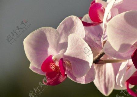 蝴蝶兰鲜花图片