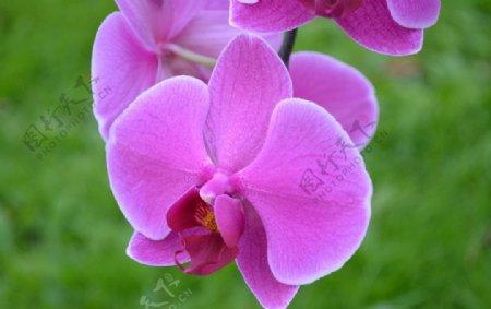 美丽的蝴蝶兰鲜花图片