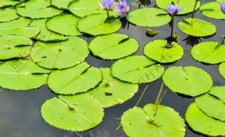 植物摄影素材睡莲的莲叶图片