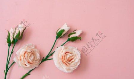 粉色底板上的玫瑰花特写图片