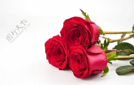 玫瑰花高清拍摄素材图片