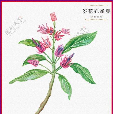 多花孔雀葵图片