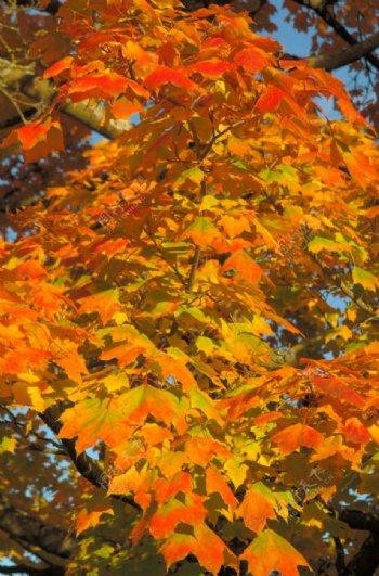 金黄的枫树树叶图片