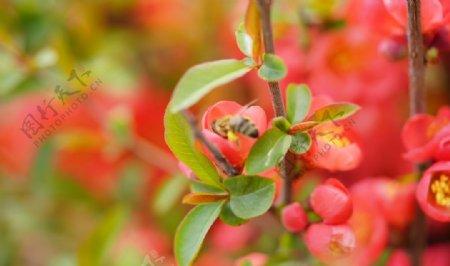 蜜蜂落在海棠花上图片