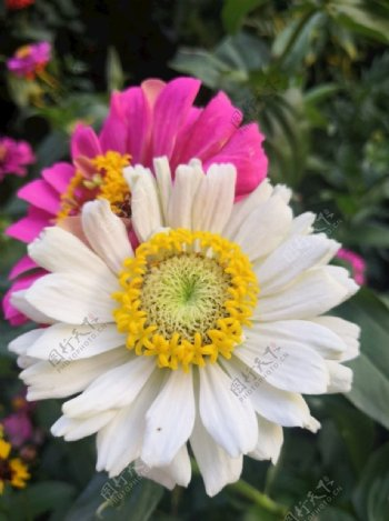 太阳花鲜花图片