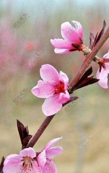 花卉花头桃花图片