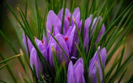 西红花图片